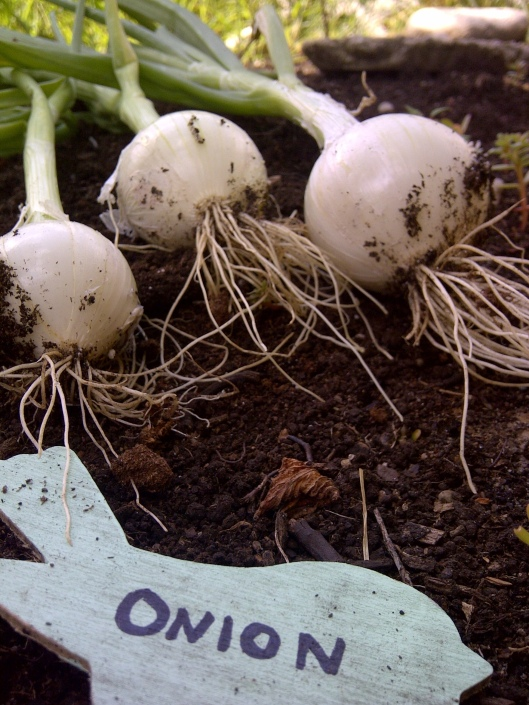Gardening - Onions  | Invited DIY